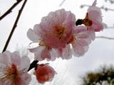 ウメの花   3/26