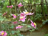 シュウメイギクの花(赤) 10/19