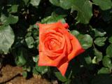 バラ 花かがり