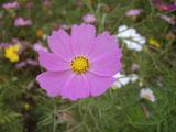 コスモスの花 ピンク