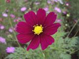 コスモスの花 ローズ