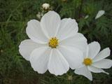 コスモスの花 ホワイト