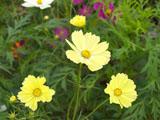 コスモスの花 クリーム