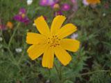 コスモスの花 イエロー