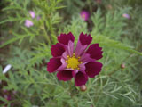 コスモスの花 パープル