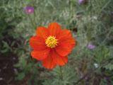 コスモスの花 レッド