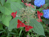 アジサイ 紅  赤