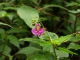 ツリフネソウの花