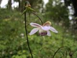 レンゲショウマの花