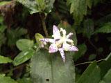 ヤマジノホトトギスの花