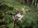 モミジバハグマの花