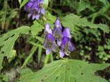 ヤマトリカブトの花
