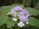 タマアジサイの花