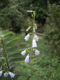 ツリガネニンジンの花