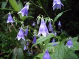 ソバナの花