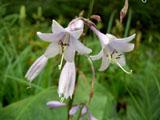 コバキボウシの花