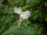 オニシモツケの花