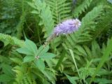 クガイソウの花