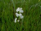 イワショウブの花