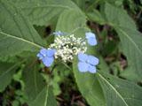 エゾアジサイの花