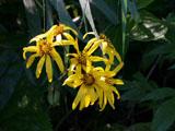 マルバダケブキの花
