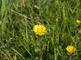オゼミズギクの花