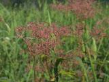 アカバナシモツケの花