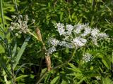 ミヤマシシウドの花
