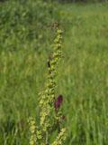 アオヤギソウの花