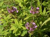 トモエシオガマの花