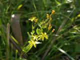 オトギリソウの花