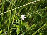 ゲンノショウコの花