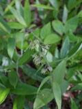 アオチドリの花