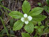 ゴゼンタチバナの花
