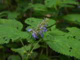 ニガクサの花