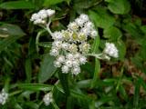 ヤマハハコの花