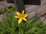 ニッコウキスゲの花