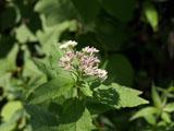 ヨツバヒヨドリの花