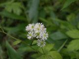 モミジカラマツの花