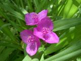 ツユクサ 赤紫