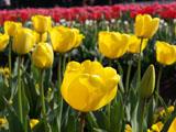 チューリップの花 黄色