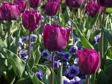 チューリップの花 紫色