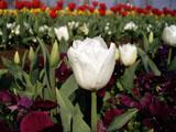 チューリップの花 白色