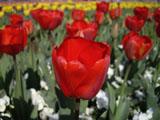 チューリップの花 赤色