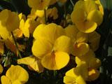 パンジーの花 黄色