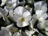 パンジーの花 白色