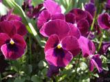 パンジーの花 紫色