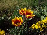 チューリップの花 黄色と赤のぼかし