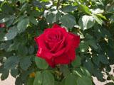 バラの花 オリンピアード
