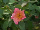 バラの花 モーニングミスト